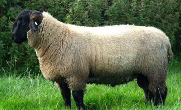 Ukrayna'dan koyun aldı ve zengin oldu